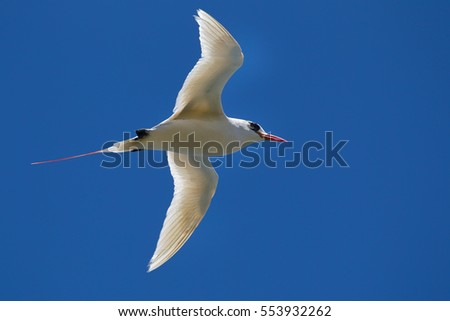 Red-tailed Tropicbird (Phaethon rubricauda) in flight over Kilauea Point, the northernmost point of Kauai, Hawaii, USA.