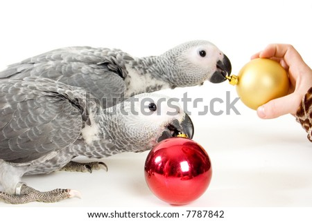 red tale baby parrot isolated on white playing with christmas balls - stock photo