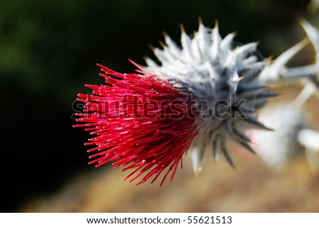 Red Thistle - stock photo