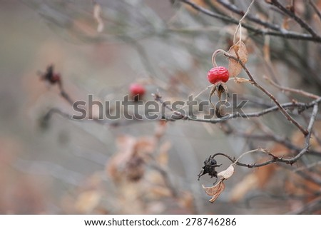 Red thorny briar hips herb - stock photo