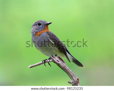 Red-throated Flycatcher (Ficedula albicilla)