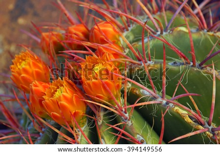 Red tined barrel cactus displays its bright orange flowers in springtime