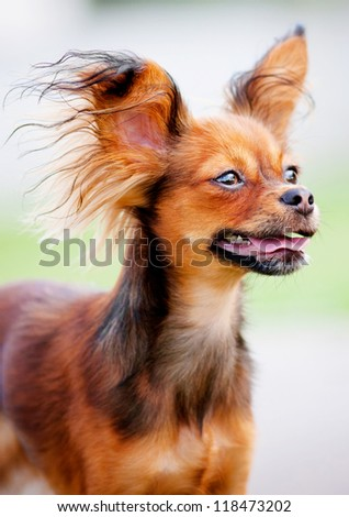 red tiny dog russian toy portrait - stock photo