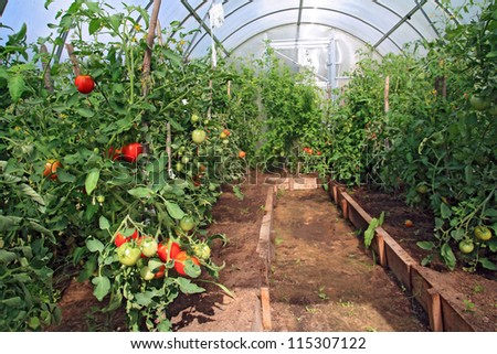 red tomatoes in plastic hothouse - stock photo