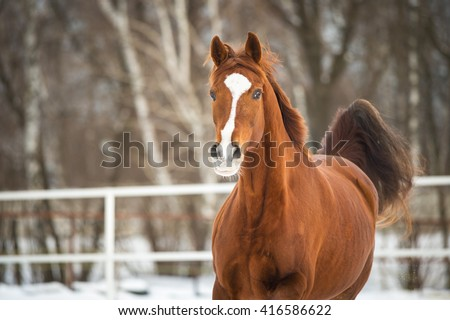 Red Trakehner horse runs gallop - stock photo
