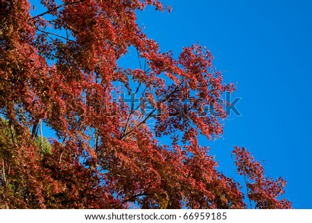 Red trees in a Japanese autumn park