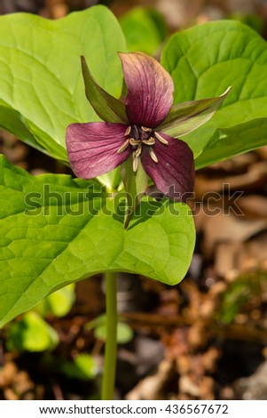 Red Trillium flower growing in the shade of the forest floor.