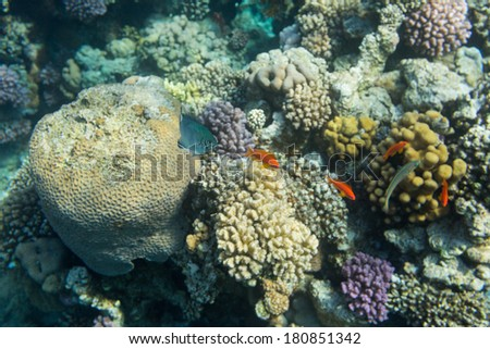 Red tropical fish on a background of a coral reef of the Red Sea - stock photo