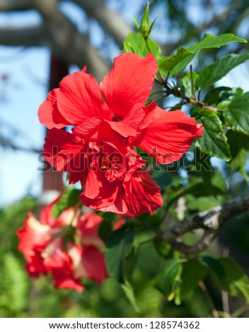 red tropical flower- hibiscus - stock photo