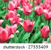 red tulip at spring on Earth - stock photo