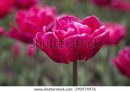 Red tulip closeup in early spring - stock photo