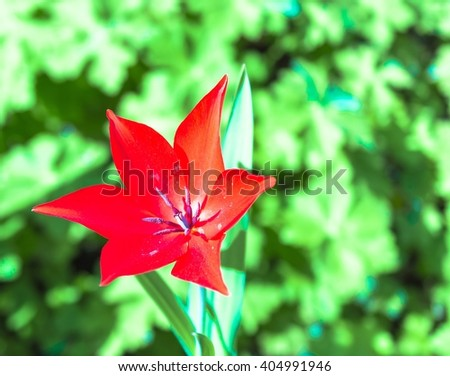 Red tulip flower bloom in spring - stock photo
