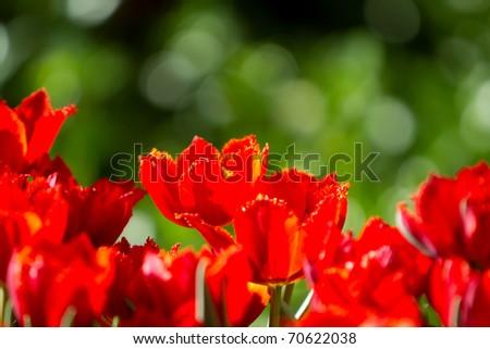 Red tulip flower garden during spring - stock photo