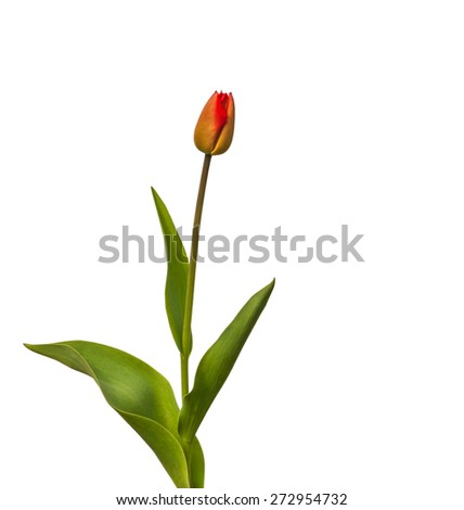 Red tulip on a white background isolated - stock photo