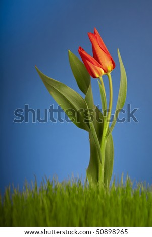 Red tulip on blue background