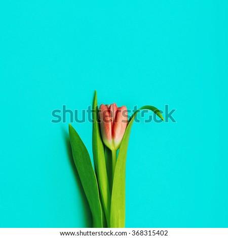 Red Tulip on blue background. Minimalism photo - stock photo