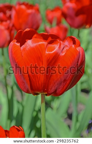Red tulip on green background. Blooming spring flower tulip - stock photo