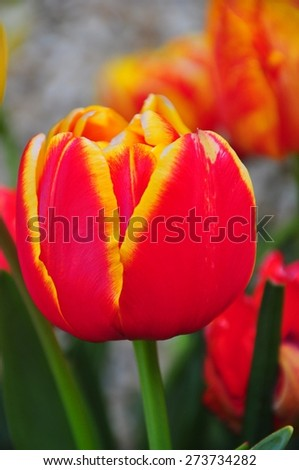 Red Tulip with Yellow Edges - stock photo