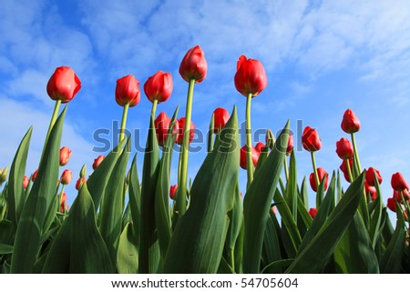 red tulips against blue sky with some clouds - stock photo