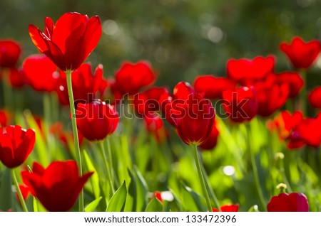 Red tulips backlit by late afternoon sun - stock photo