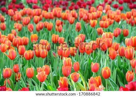 Red tulips garden - stock photo