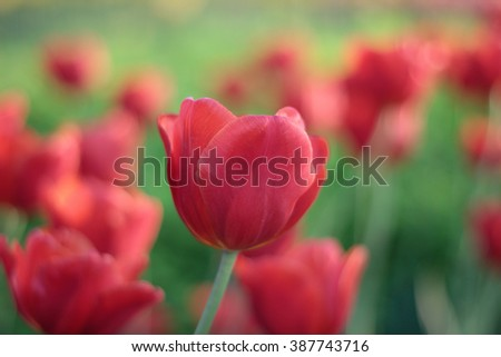 Red tulips grow on flower-bed. Shallow DOF