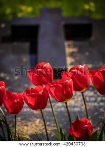 Red tulips growing in front of a grave in a cementery in England - stock photo