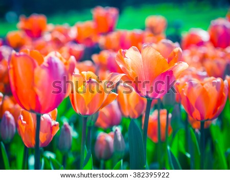Red tulips in a soft focus - spring flowers in the garden. Bright tulip with bokeh effect, red and green colors. Floral flowerbed closeup. - stock photo