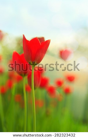red tulips in backlighting for low depth of field - stock photo