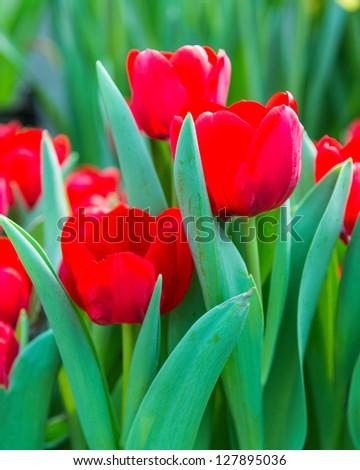 red tulips in garden - stock photo