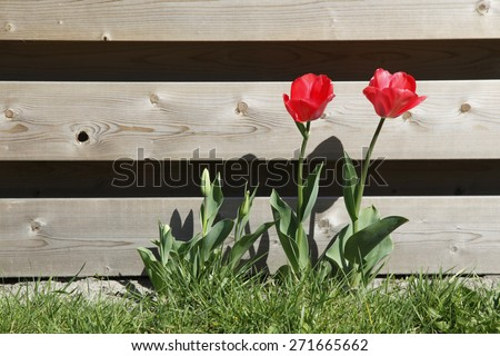 red tulips in grass near wooden garden fence - stock photo