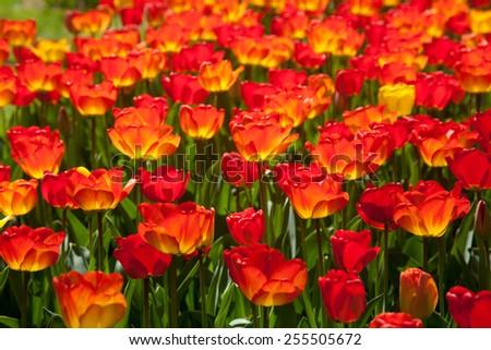 Red tulips in Keukenhof, Netherlands - stock photo