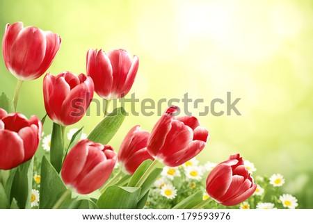 Red tulips in sunlight,shallow dof. - stock photo
