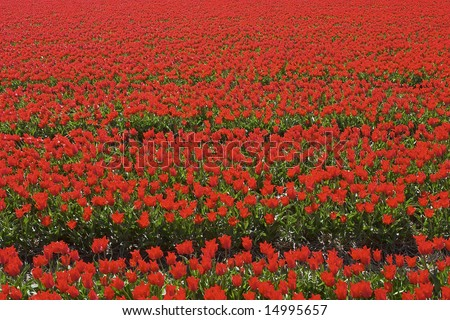 Red tulips in the field just before they are picked. Or rather beheaded to conserve the bulbs.