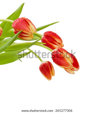 Red tulips  isolated on white background.Flowers background. - stock photo