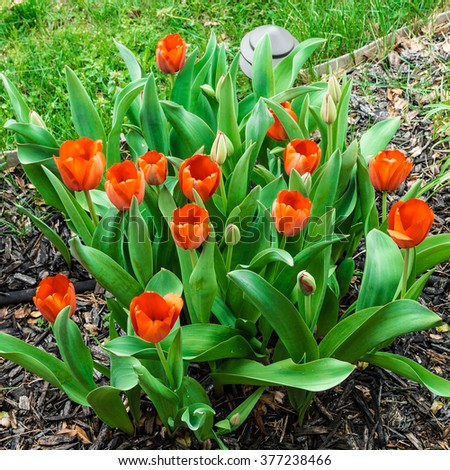 Red tulips on flowerbed near green lawn. selective focus, shallow dof - stock photo