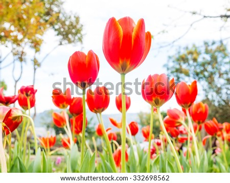 red tulips on the outdoor garden in nature