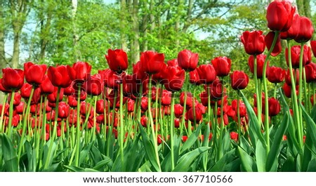 red tulips  photographed from underneath - stock photo