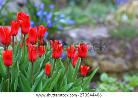 Red tulips with colorful background in spring garden - stock photo