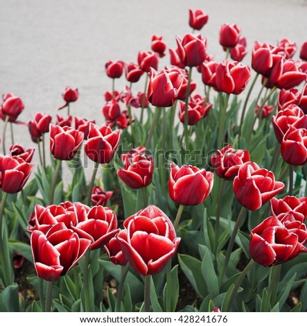red tulips with white edge on the petals in a green garden 9 - stock photo