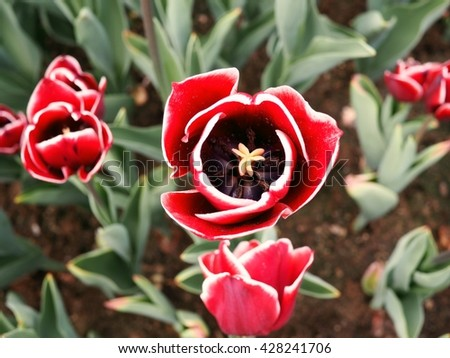 red tulips with white edge on the petals in a green garden 7 - stock photo