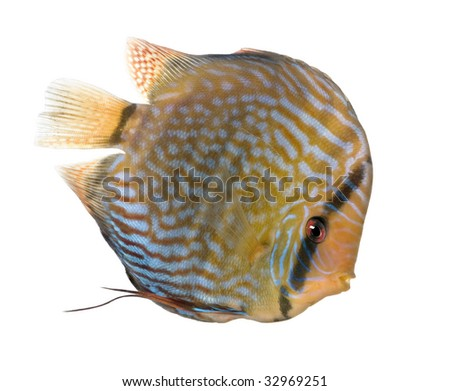 Red Turquoise  Discus (fish) - Symphysodon aequifasciatus  in front of a white background