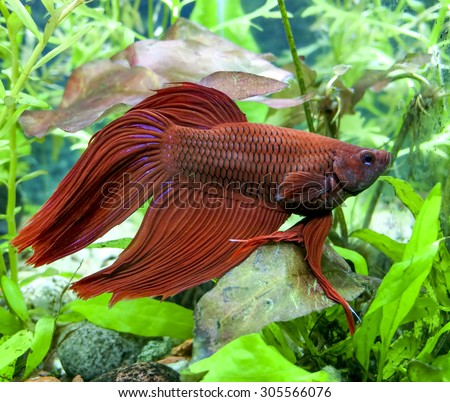Red Veiltail mail Beta or Siamese Fighting Fish in planted tank - stock photo