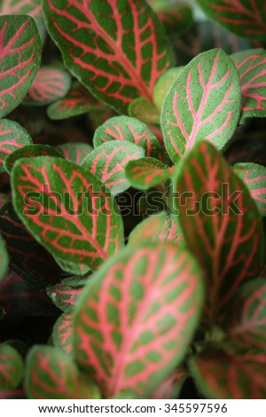 Red veined leaves of the Fittonia (Nerve Plant) with focus on young leaves growing in background