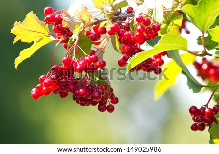 Red Viburnum berries in the tree - stock photo