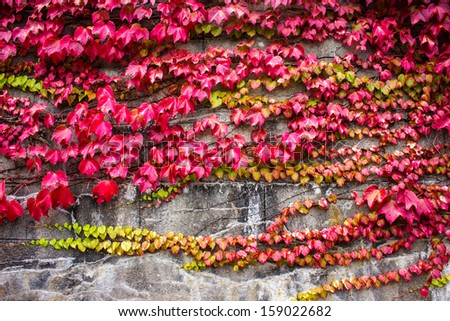 Red vine autumnally colored