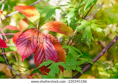 Red Virginia Creeper leaves and green Maple leaves under the tepid autumn sun - stock photo