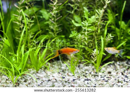 Red Wag Swordtail and Cremecicle Lyretail Molly swimming in planted fish tank; focus on Red Wag Swordtale fish - stock photo