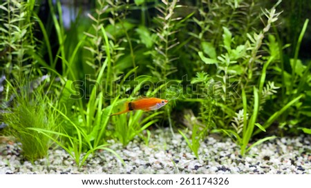 Red Wag Swordtail swimming in planted fish tank - stock photo