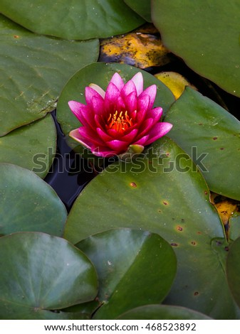 Red water lily lotus flower and Green Leaves in the pond